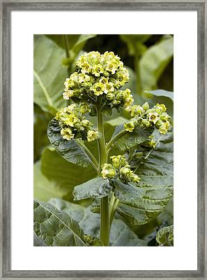 Wild Tobacco (nicotiana Rustica) Flowers Framed Print by Bob Gibbons