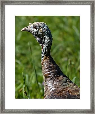 Wild Turkey Framed Print by Brian Stevens