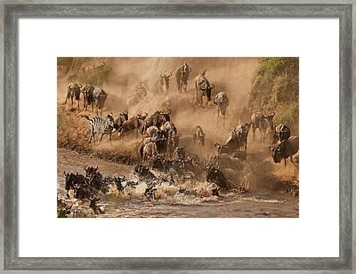 Wildebeest And Zebra Framed Print by Marsch1962UK
