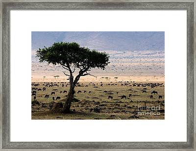 Wildebeest Connochaetes Taurinus Grazing Framed Print by Gregory G. Dimijian, M.D.
