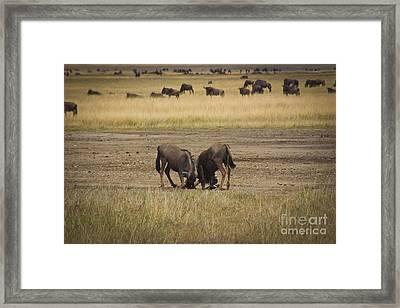 Wildebeest Fight On Guard Framed Print