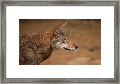 Wile E Coyote Framed Print by Karol Livote