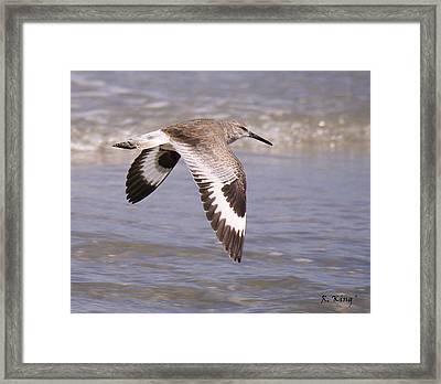 Willet In Flight Framed Print