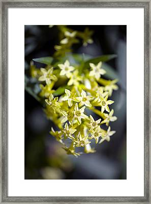 Willow-leaved Jessamine (cestrum Parqui) Framed Print by Dr Keith Wheeler