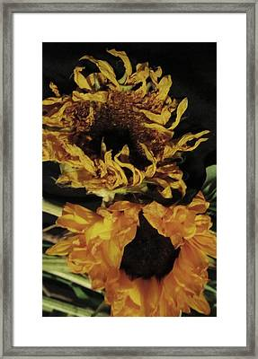 Wilted Sunflowers Framed Print by Todd Sherlock