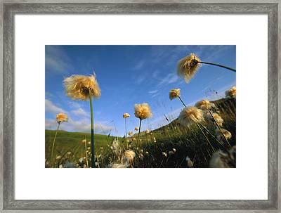 Windblown Cotton Grass Flowers On Adak Framed Print