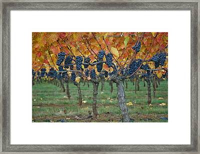 Wine Grapes - Oregon - Willamette Valley Framed Print by Jeff Burgess