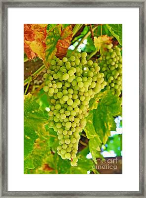 Wine Grapes In California Framed Print by Paul Topp