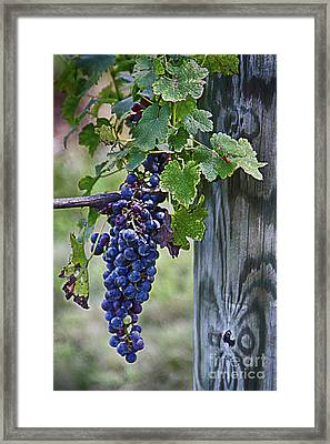 Framed Print featuring the photograph Winery Harvest by Vicki DeVico