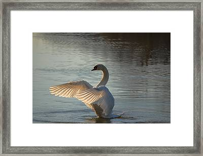 Framed Print featuring the photograph Wing Flapper by Brian Stevens