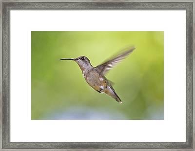 Winging It Framed Print by Betsy Knapp