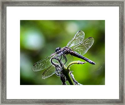 Wings Of Lace Framed Print
