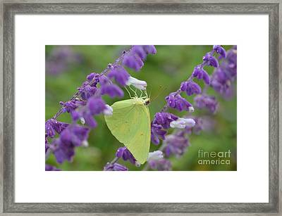 Wings Of Yellow Framed Print by Kathy Gibbons