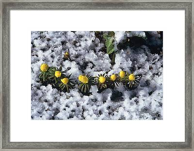 Winter Aconite (eranthis Cilicica) Framed Print by Archie Young