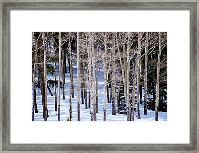 Winter Aspens Framed Print by Colleen Coccia