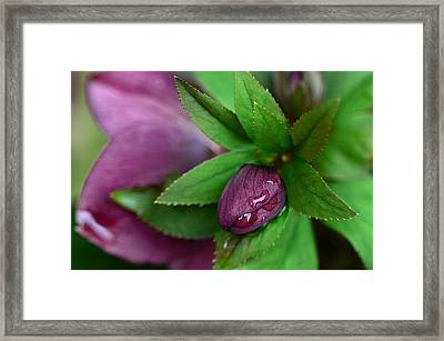 Winter Blooms Framed Print by Lisa Phillips