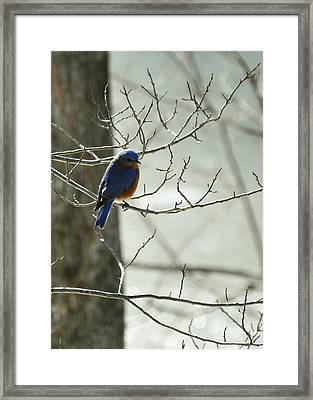 Winter Bluebird Framed Print by Rebecca Sherman
