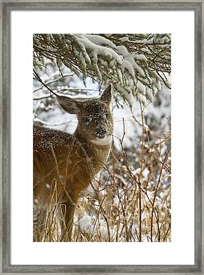 Winter Dining For A Black-tailed Deer Framed Print by Tim Grams