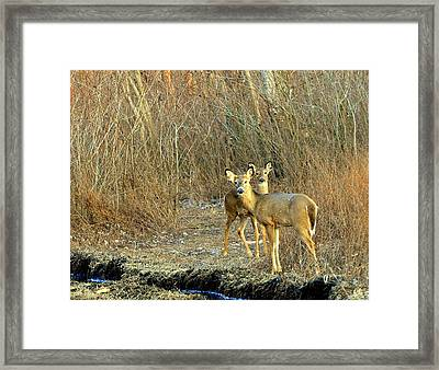 Winter Does Framed Print by Marty Koch