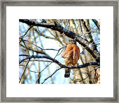 Winter Hawk Framed Print by Nava Thompson
