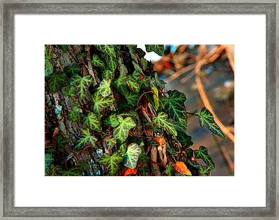 Framed Print featuring the photograph Winter Ivy by Mike Flynn
