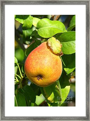 Winter Pear 1 Framed Print