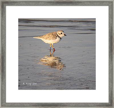 Winter Piping Plover Banded 2 Framed Print by Roena King