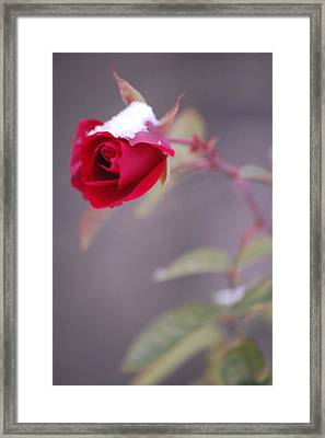 Winter Rose Framed Print by Dickon Thompson
