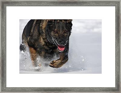 Winter Run Framed Print by Karol Livote