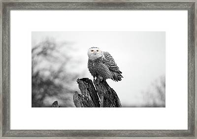 Winter Snowy Owls Framed Print by Pierre Leclerc Photography