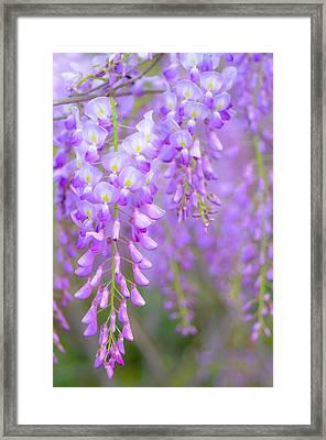 Wisteria Flowers In Bloom Framed Print