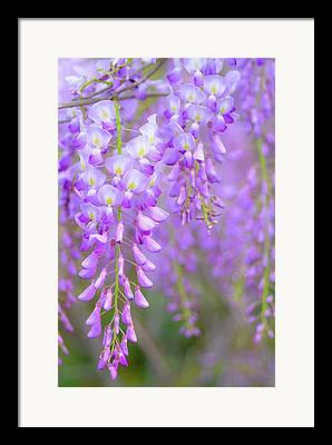 Wisteria In Bloom Framed Prints