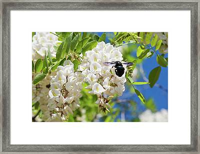 Wisteria With June Bug Framed Print