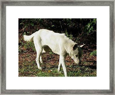 Wolf 2 Framed Print by Maria Urso