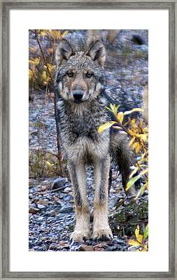 Wolf Cub In Denali Framed Print by Jim and Kim Shivers