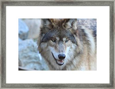 Wolf Framed Print by Kate Purdy