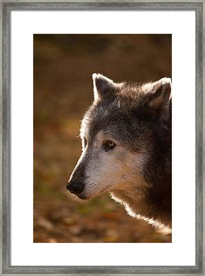 Wolf Outlined By The Sun Framed Print by Karol Livote