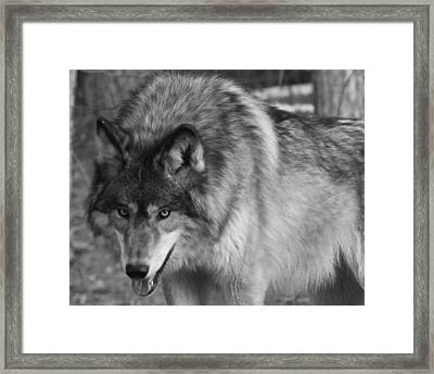 Wolf Stare Framed Print by Kate Purdy