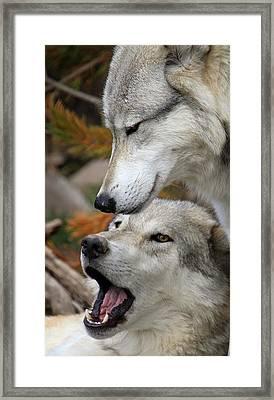 Framed Print featuring the photograph Wolf Talk by Steve McKinzie