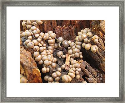 Wolf's Milk Slime Mould Framed Print