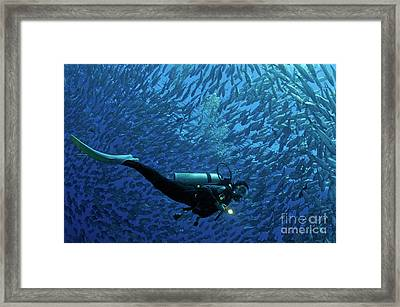 Woman Diver Surrounded By A School Of Jackfish Framed Print by Sami Sarkis