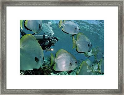 Woman Diving With School Of Batfish Framed Print by Sami Sarkis