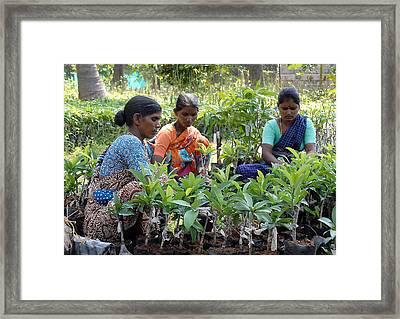 Women Grafting Mango Plants Framed Print by Johnson Moya