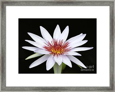 Wonderful White Water Lily Framed Print by Sabrina L Ryan