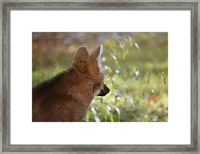 Wondering Wolf Framed Print by Karol Livote