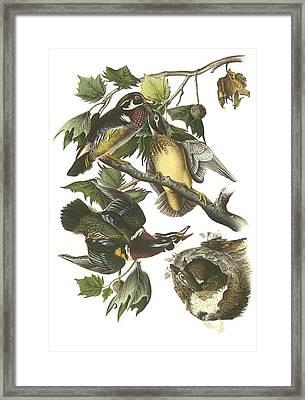 Wood Duck Framed Print by John James Audubon