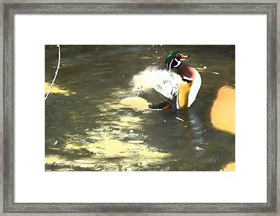 Wood Duck Playing In Pond Framed Print by Richard Adams