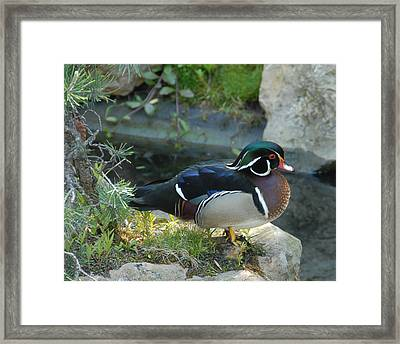 Wood Duck Framed Print by Scott Massey
