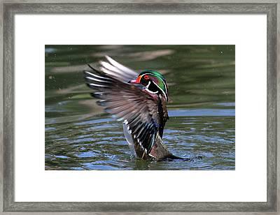 Wood Duck Stretch Framed Print