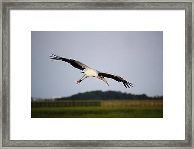Wood Stork In Flight Framed Print by Paulette Thomas